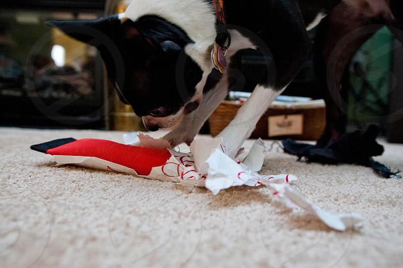 Bowie unwrapping her present. photo