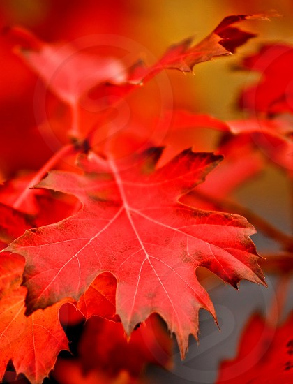 Close up of red maple leaf autumn fall photo