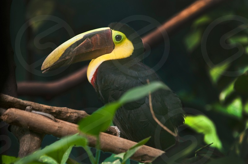 black and yellow toucan bird on stem in tilt shift lens photograph photo