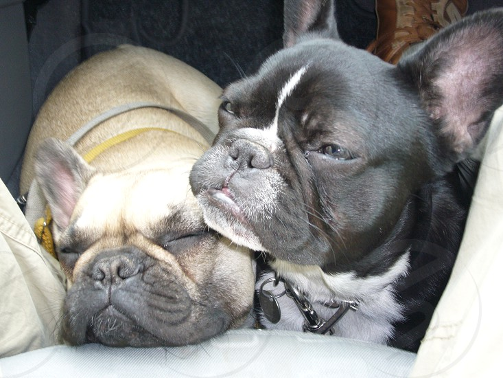 Lulu and Puck in the car photo