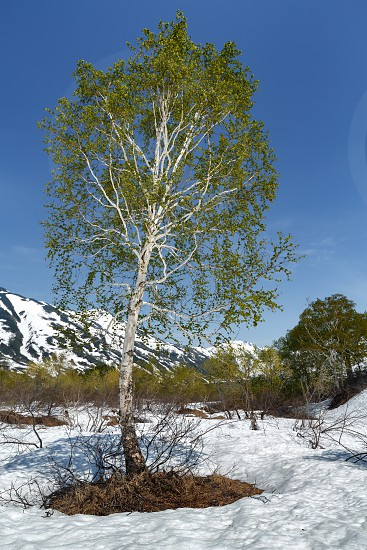Spring nature landscape of Kamchatka Peninsula: beautiful birch on glade surrounded by snow on background clear blue sky in sunny weather. Kamchatka Region Russian Far East Eurasia. photo