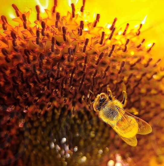 honeybee perched on yellow flower in close up photography during daytime photo