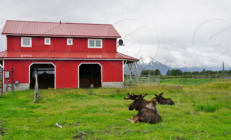 Elk moose and bear can be seen at the Alaska Wildlife Conservation Center a non profit organization dedicated to the conservation of Alaskan animals.  photo