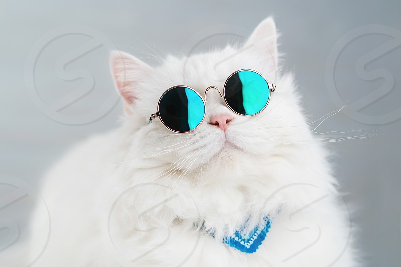 Portrait of highland straight fluffy cat with long hair and round sunglasses. Fashion style cool animal concept. Studio photo. White pussycat on gray background. photo