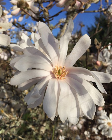 Magnolia stellata Star Magnolia flower spring photo