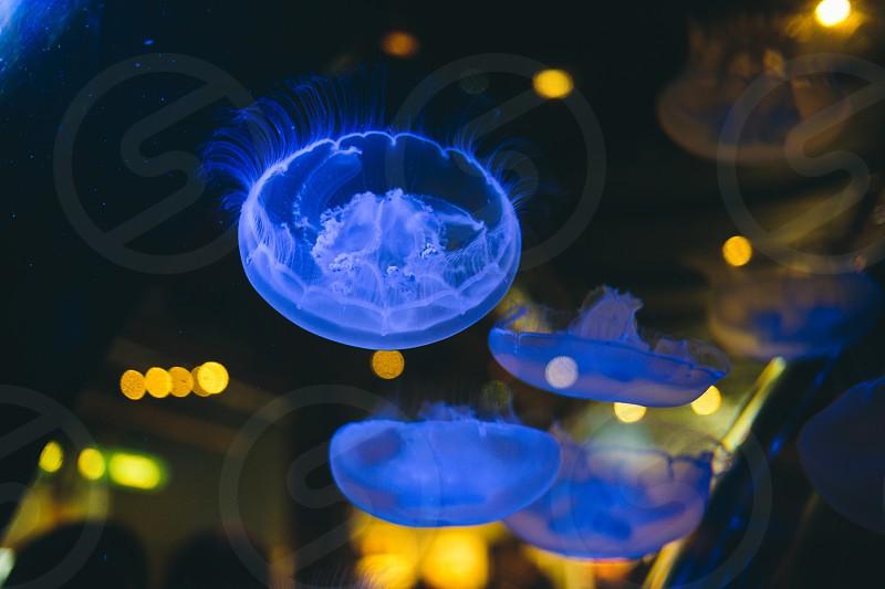 Jellyfish aquarium blue water fish  photo