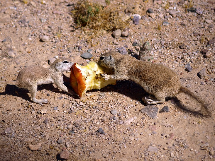 A pair of Arizona Ground Squirrels having a tug of war over a discarded Apple core. photo
