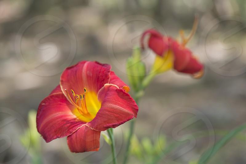 Red  Summer Flower photo