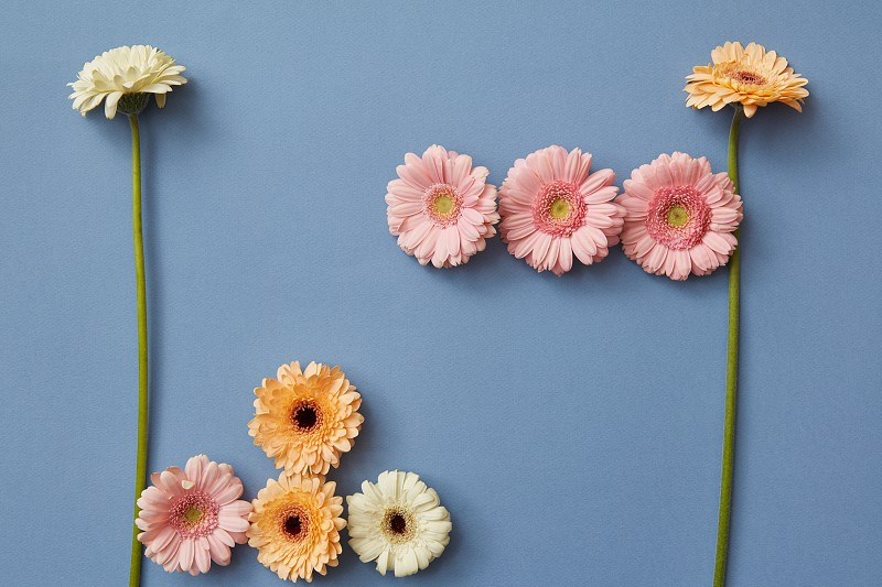 Figures from the game Tetris made from gerberas on a blue paper background. Spring flower composition. Flat lay. photo