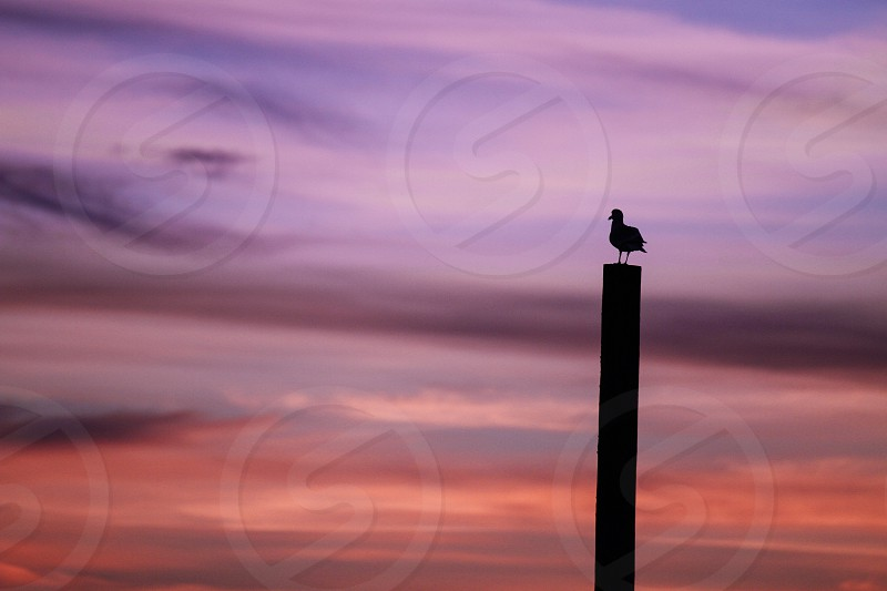 Pink peach sunset seagull on a wood post photo