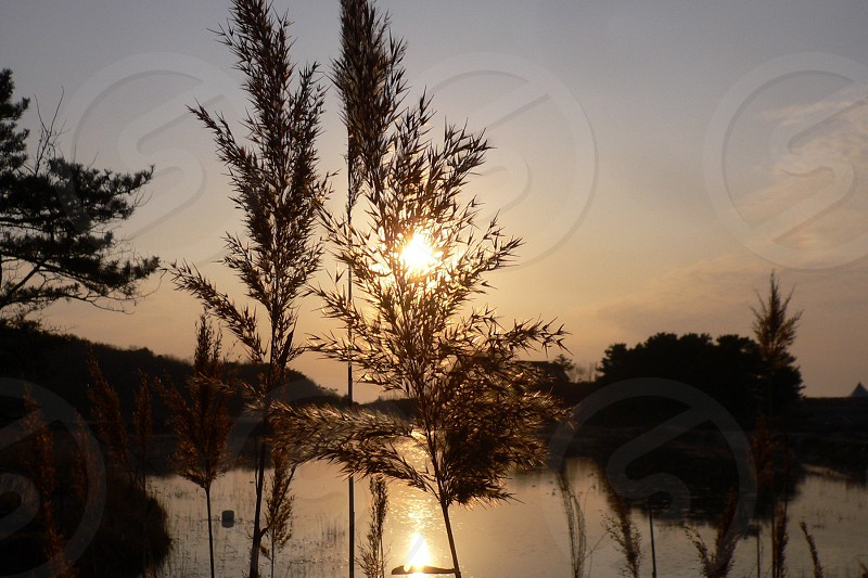 weeds and body of water under sunset photo