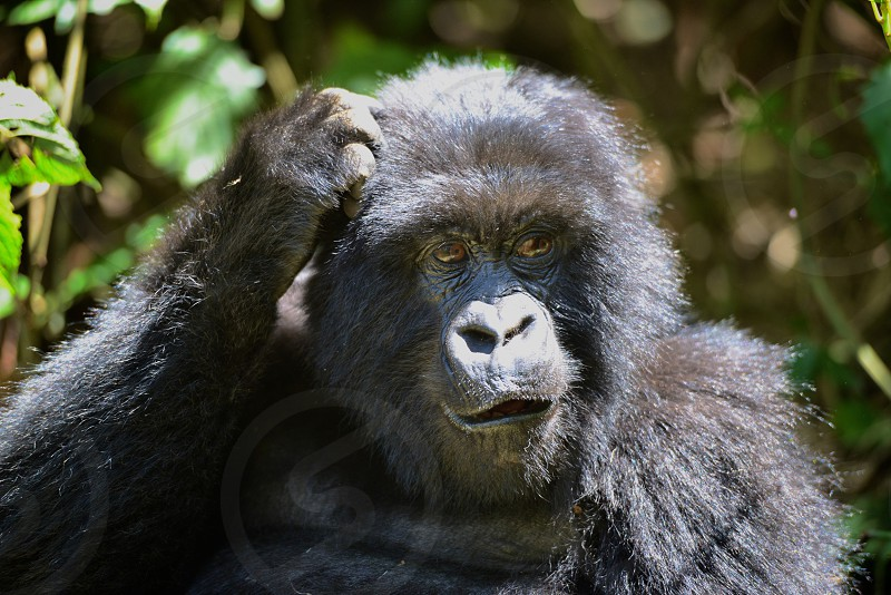 Silverback gorilla taking a moment to think about things in the volcanic mountains of Rwanda. photo
