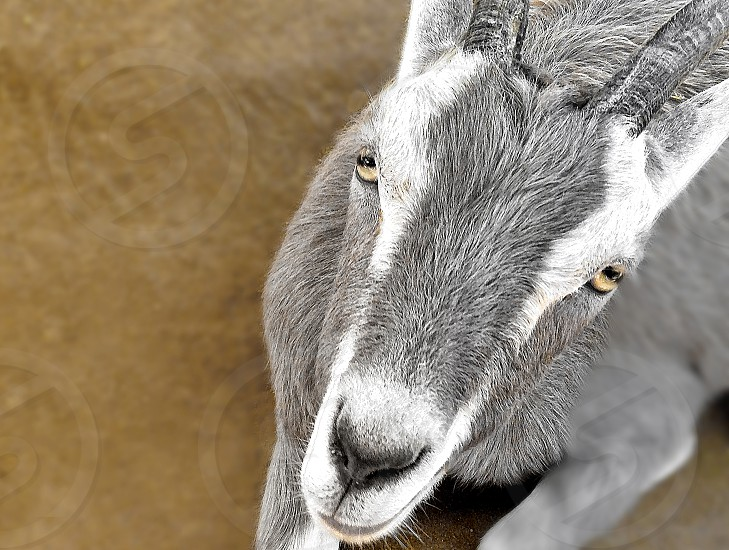 A gray and white farm goat looks up at the camera photo