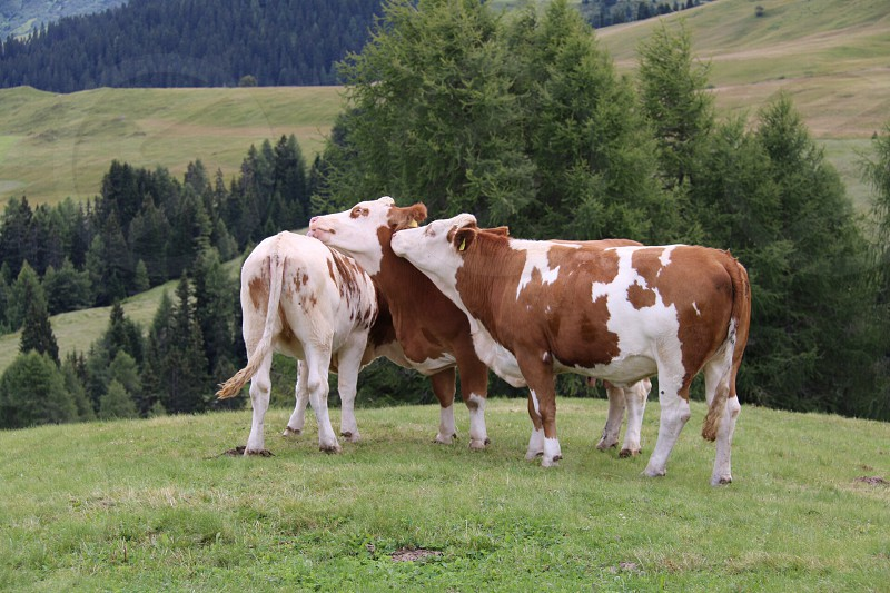 brown and white cows touching faces in field photo