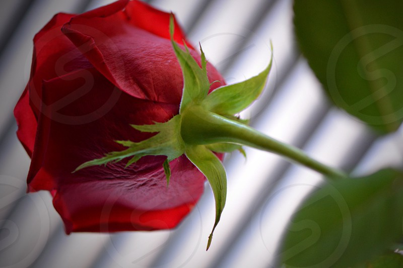 bottom view of red rose flower photo