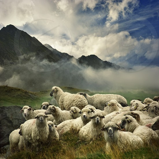 Flock of Sheep in the high altitudes of the Carpathian Mountains photo
