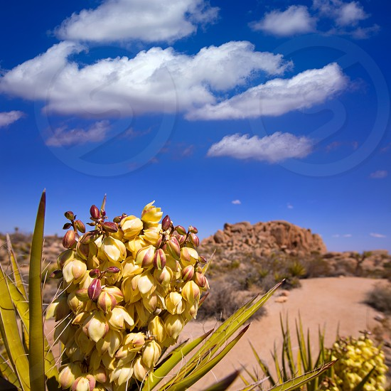 Yucca brevifolia flowers in Joshua Tree National Park California USA photo
