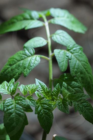 young tomato plant photo