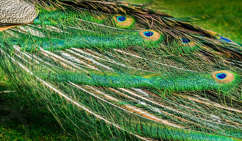 Vibrant vibrance peacock bird tail feathers colours display green blue aqua yellow nature wildlife quills photo