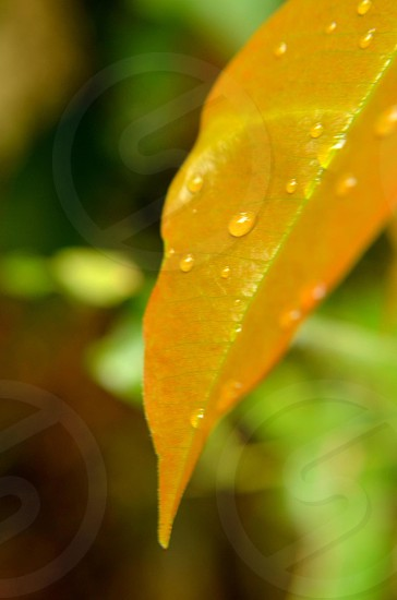 yellow leaf with water droplets selective-focus photo photo