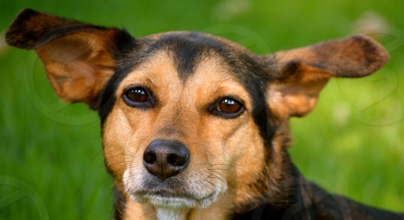 Meagle - Miniature Pinscher/Beagle Mixed Breed Dog photo