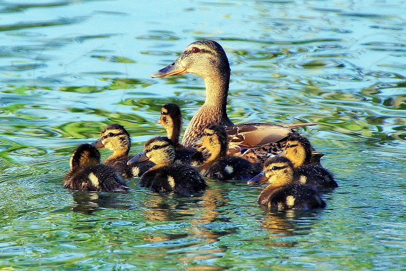 Female Mallard with her soft and feathery chicks  in water photo