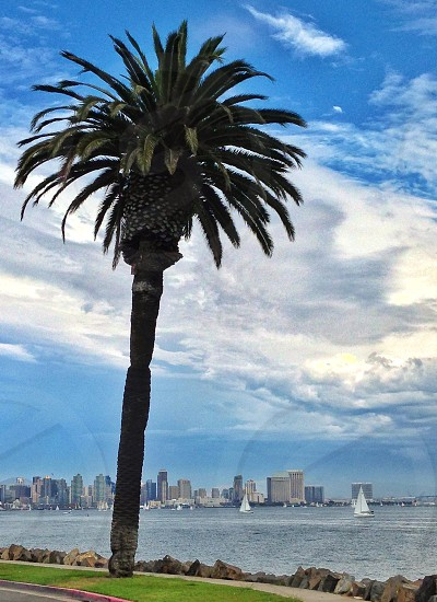 Late summer palm tree & sail boats with downtown San Diego view.  photo