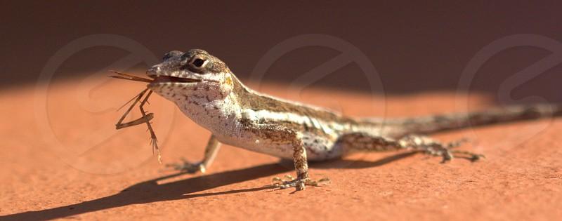 Lizard crunching on a bug photo