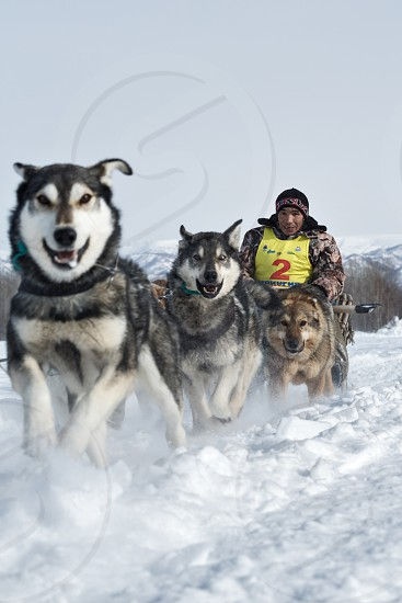 KAMCHATKA RUSSIA - MARCH 3 2014: Running dog sledge team Kamchatka musher Apki Vladimir. Traditional Kamchatka extreme Dog Sledge Race Beringia. Russian Federation Far East Kamchatka Peninsula. photo