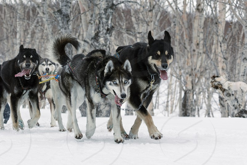 PETROPAVLOVSK KAMCHATKA RUSSIA - April 13 2014: Kamchatka Regional Competitions Sled Dog Race: running dog sled team Alaskan husky (dogs age 18 months and older) musher Anastasiya Semashkina. photo
