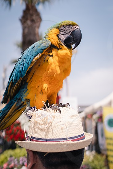 Colorful parrot on the human hat photo