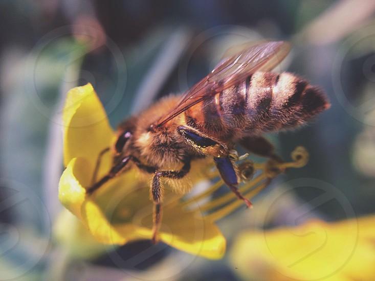 honey bee on yellow flower macro photography photo