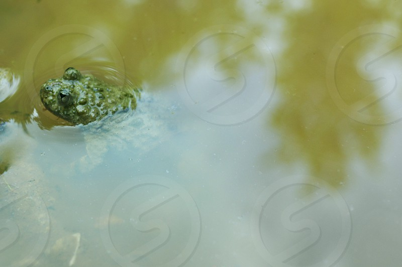 FOREST FROG photo