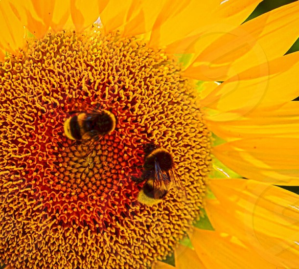two yellow and black bumblebees harvesting pollen of deep yellow sunflower in close up photography photo
