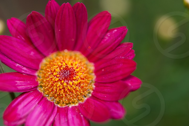 Flower after the rain photo