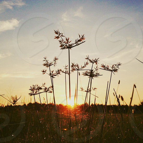 Sunrise in the weeds. Linen faded filter.  photo