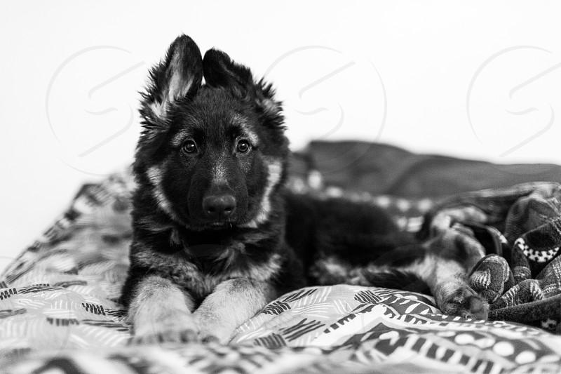 Female German Shepard puppy photo