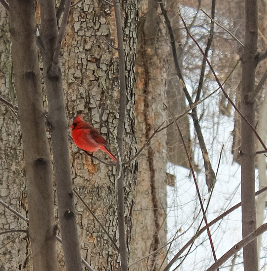 cardinal bird on tree twig during daytime photo