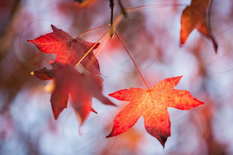orange maple leaves photo