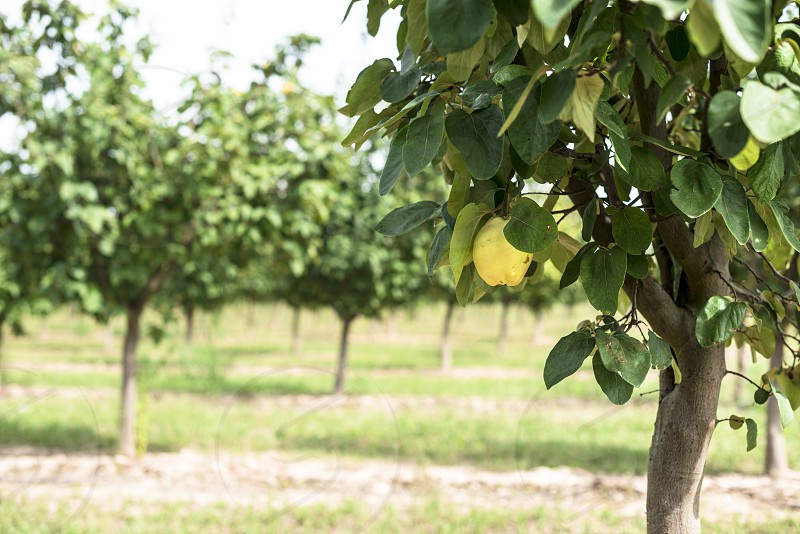 Quince orchard. Quince trees. photo