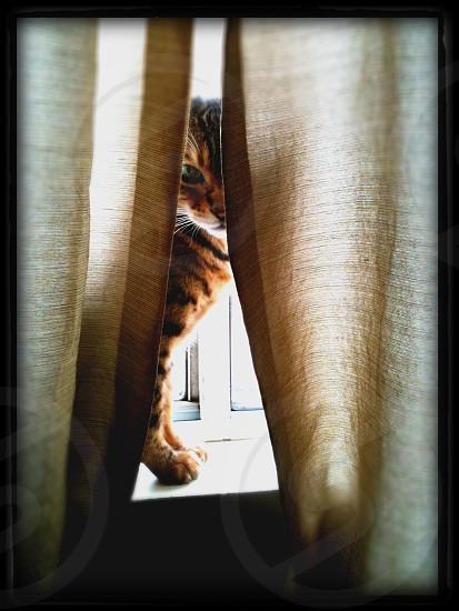 Cat peering through curtains  photo