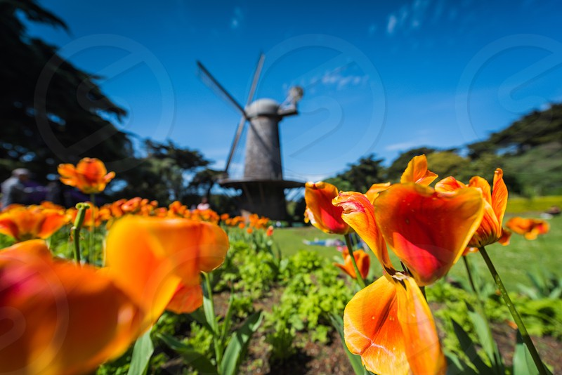 Spring flowers windmill tulips photo