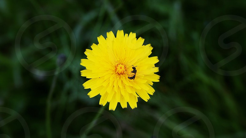 Pop color yellow bright weed garden yard green grass bee stuck photo