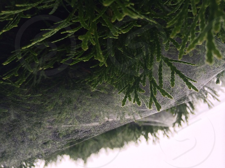 Spider web in pine tree from below photo