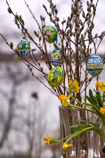 Coloured Easter eggs willow catkins and narcissus flowers in outdoors settings in Western Finland. photo
