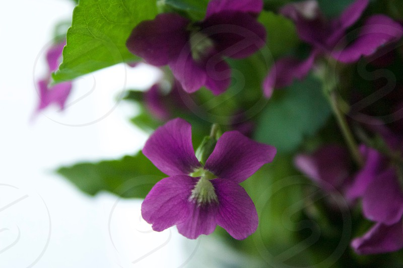 Softly backlit purple wild violets against a white indoor background photo