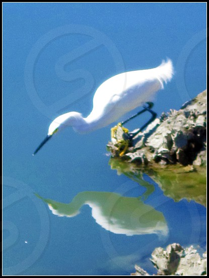 white egret near water photo