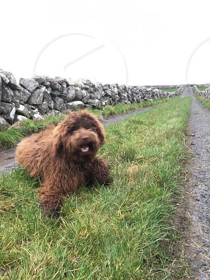 Oranmore Ireland labradoodle photo