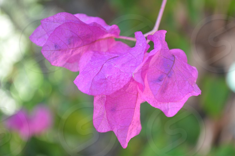selective blur photography of pink bougainvillea flower photo
