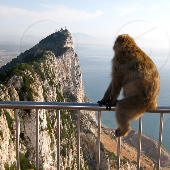 Gibraltar. Barbary macaque photo